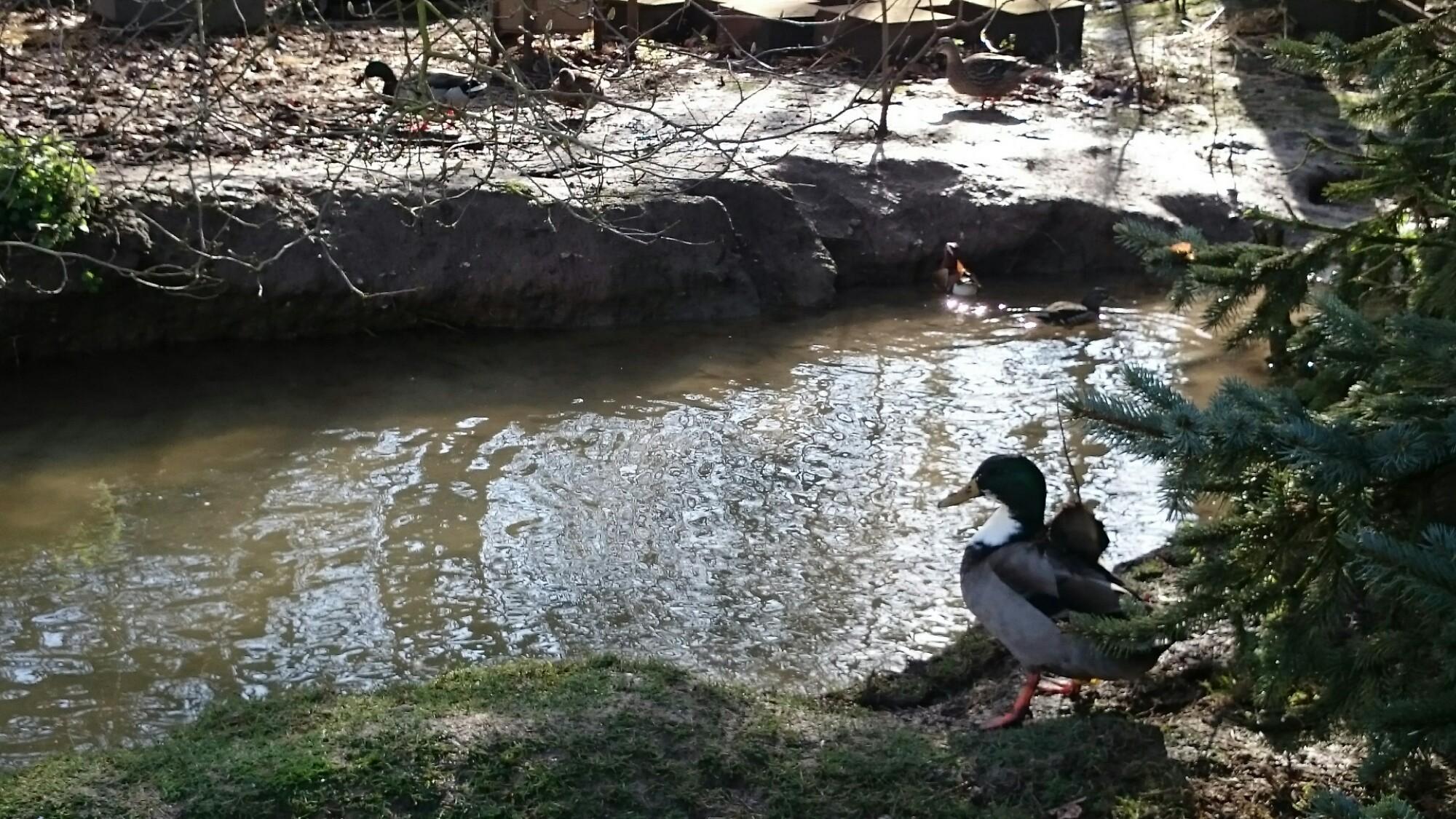 Ducks at pond in rural France