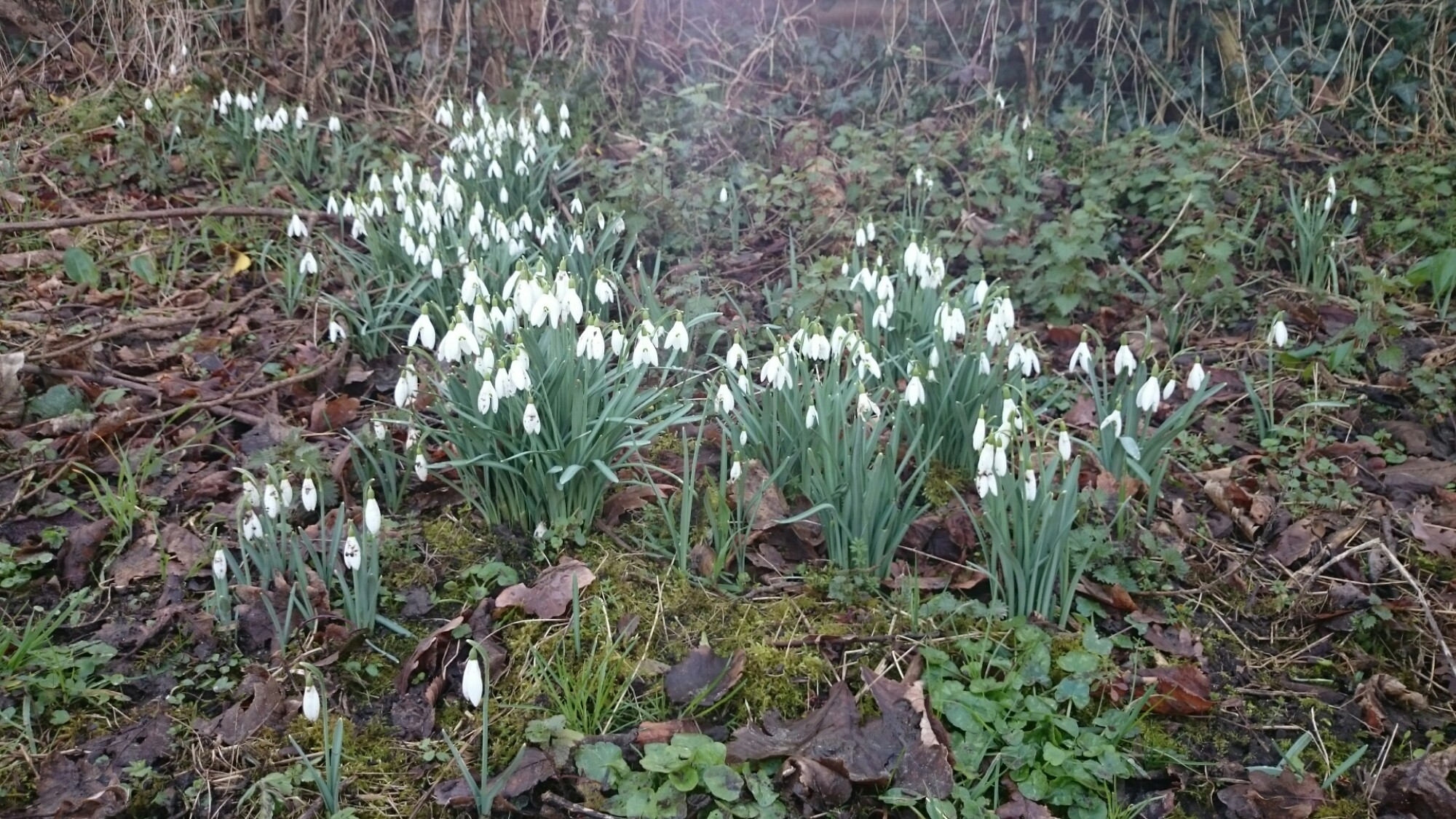 Snowdrops blooming in rural France